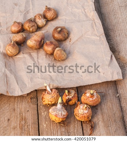 Gladiolus bulbs before planting of different sorts on a wooden table - stock photo