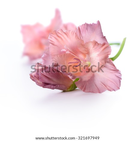 Gladiolus flower isolated on white background - stock photo
