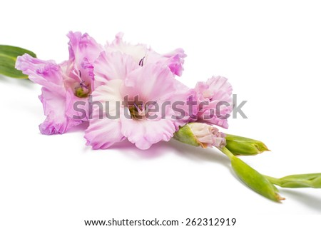 gladiolus flower on a white background