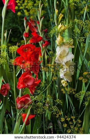 Gladiolus flower on green nature background - stock photo