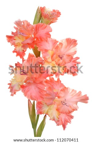 gladiolus on white background - stock photo