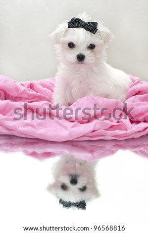 Glamour maltese puppy, 2 months old - stock photo
