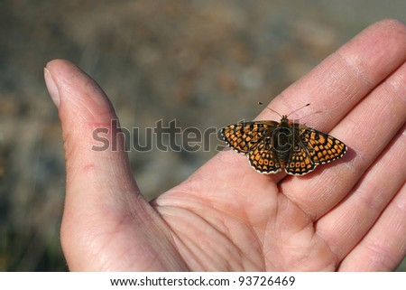 Glanville fritillary in the Isle of Wight - stock photo