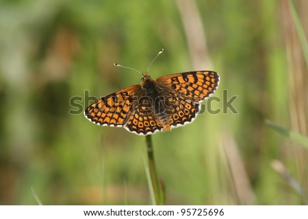 Glanville fritillary Melitaea cinxia in the Isle of Wight - stock photo