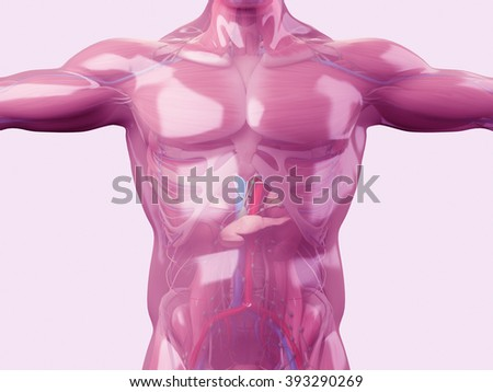Glass anatomy. Human anatomy with see through glass skin revealing muscles, bones and intestines underneath.