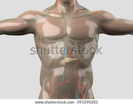 Glass Anatomy Human Anatomy See Through Stockillustration 393290281 ...