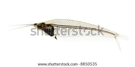 Glass catfish - krypthopterus biccirhis in front of a white background - stock photo