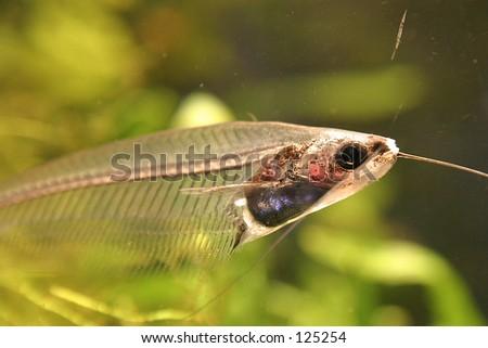 Glass-fish - stock photo