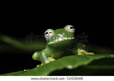 glass frog hyalinobatrachium  amphibians mainly nocturnal species endangered need special protection and conservation measures amazon basin Bolivian rain forest image with copy space nice background - stock photo