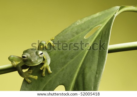 glass frog sitting on the edge of a leaf tropical exotic rain forest animal on green background with copy space