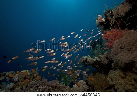 Glassfish and coral in the Red Sea.