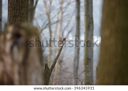 Glaucidium passerinum. Photograph of a pygmy owl perched on a tree branch staring with large yellow eyes. - stock photo