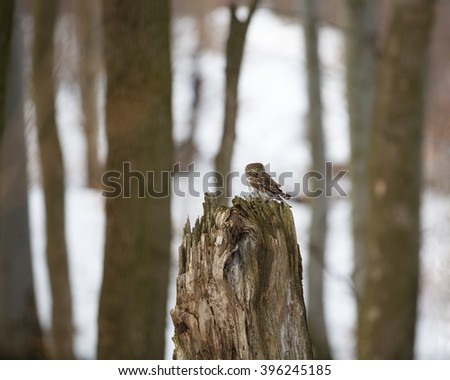 Glaucidium passerinum. Photograph of a pygmy owl perched on a tree staring with large yellow eyes. - stock photo