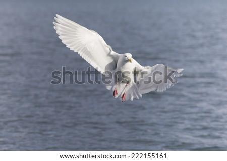 Glaucous Gull in Homer Alaska - stock photo