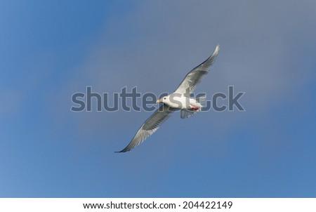 Glaucous-winged Gull in Homer Alaska - stock photo