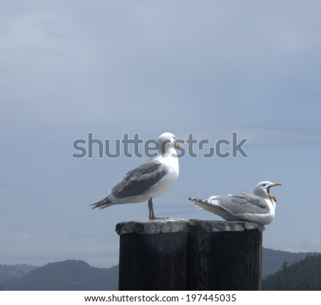 Glaucous-Winged Gulls (larus glaucescens), one anding and the other appearing to yawn while sitting - stock photo