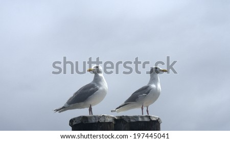 Glaucous-Winged Gulls (larus glaucescens), one looking away from the direction the other is intently gazing - stock photo