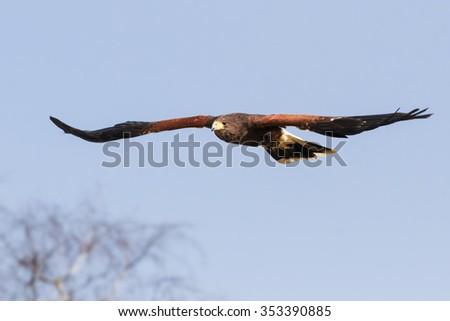 Gliding Harris Hawk. An impressive Harris hawk holds its wings straight as it glides across a blue sky. - stock photo