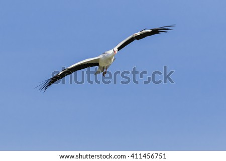 Gliding Stork. A beautiful white stork is seen gliding against the background of a clear blue sky.