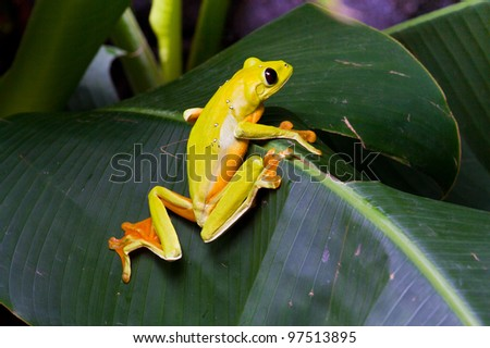 Gliding tree frog, Agalychnis spurrelli, perching on a leaf at La Paz Waterfall Gardens, Costa Rica - stock photo