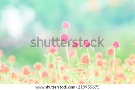 globe amaranth Flower soft focus on pastel tone - stock photo
