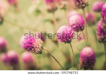 Globe Amaranth or Bachelor Button flower macro close-up shot in nature vintage - stock photo