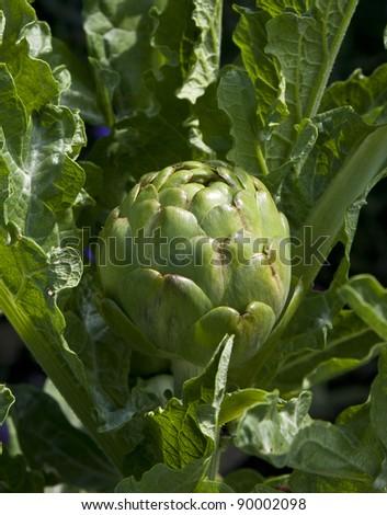 Globe artichoke growing organically in a kitchen garden - stock photo