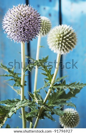 globe thistle against blue fence, spring flowers - stock photo