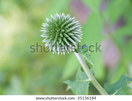 Globe thistle (Echinops) flower close-up - stock photo