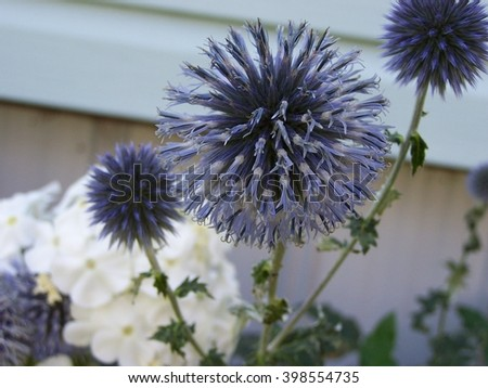 Globe thistle in flower bed - blur - stock photo