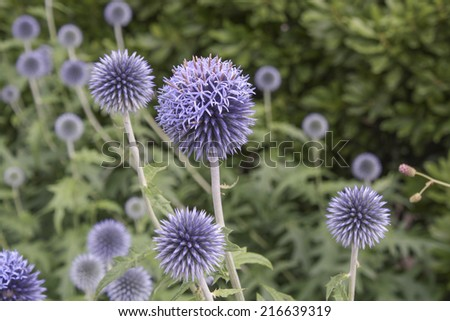 Globe Thistle Thornbush Flower Heads - stock photo