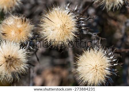 Globe thistles plant, spherical  dry flower heads - stock photo