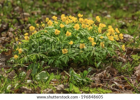 globeflower - stock photo