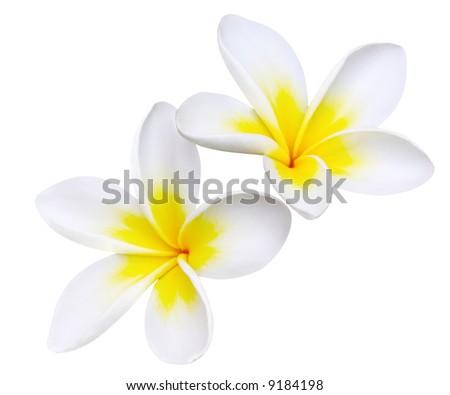 Glorious frangipani or plumeria flowers - stock photo