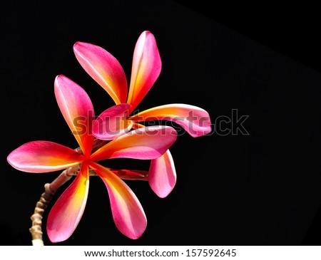 Glorious frangipani or plumeria flowers, with black background - stock photo