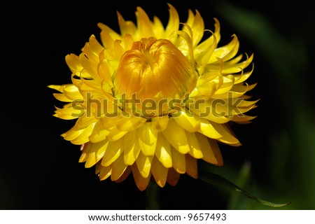 gloss yellow immortelle close-up in dark background - stock photo