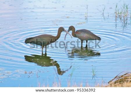 Glossy Ibis couple. - stock photo