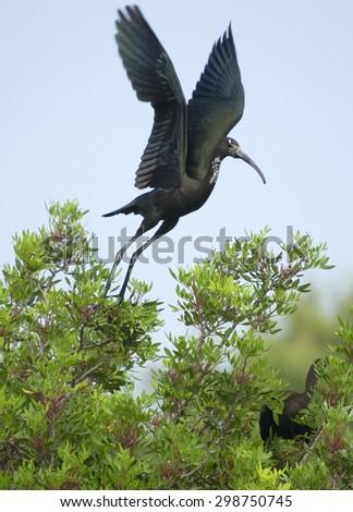 glossy ibis (plegadis falcinellus) - stock photo