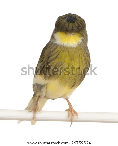 Gloster Corona Canary - Serinus canaria on its perch in front of a white background - stock photo
