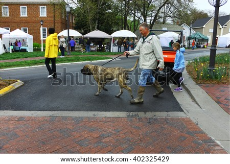 GLOUCESTER, VA - April 2, 2016: An unknown man walking his Mastif at the  30th annual Daffodil fest and parade, The Daffodil fest and Parade is a regular  event held each spring