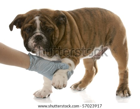 gloved hand holding on to english bulldog puppy paw