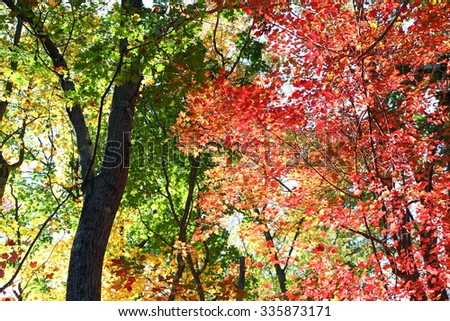 Glow of Forest leaves back lit in autumn - stock photo