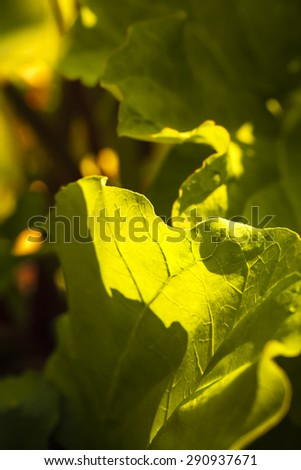 Glow of warm evening light on Devil's Club leaves in and Alaskan forest. - stock photo