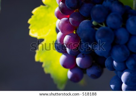 Glowing blue grapes close-up