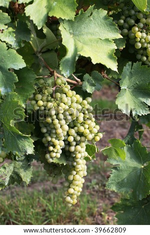 Glowing green wine grapes from Czech republic - stock photo