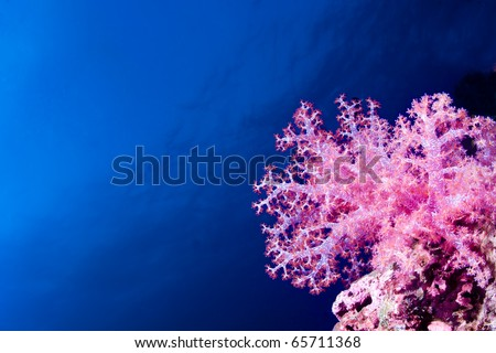 Glowing pink soft coral isolated on a blue water background under water. - stock photo