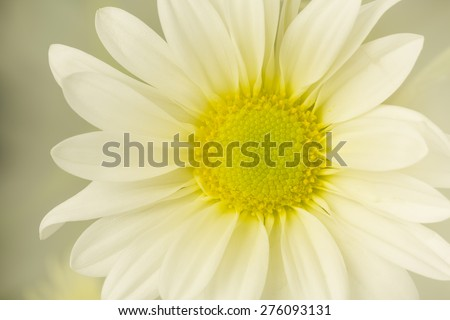 Glowing White Daisy Flower - stock photo