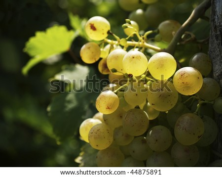 Glowing  wine grapes - stock photo