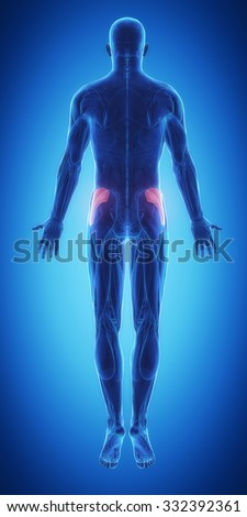 Gluteus medius - blue muscular map - stock photo