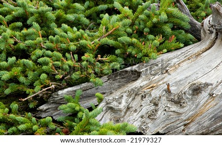 Gnarled and weathered wood next to evergreen foliage.